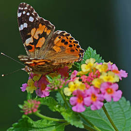 Sandra Clark - A little Brown Butterfly