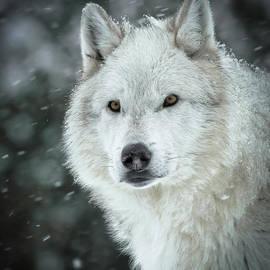 Athena Mckinzie - A Wolves Winter Snowfall