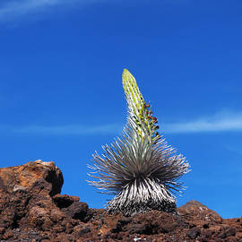A Young Blossoming Silversword by Ken Fields