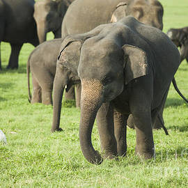 A young elephant in a herd by Patricia Hofmeester