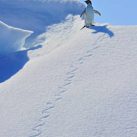 Tony Beck - Adelie Penguin on Bergie Bit