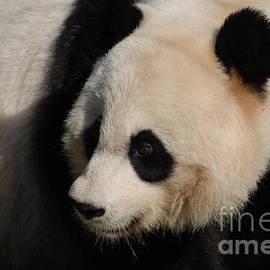 DejaVu Designs - Adorable Panda