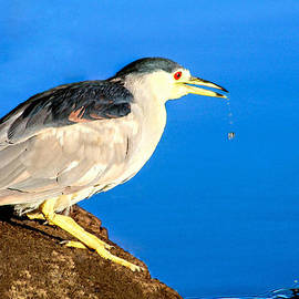 Bob and Nadine Johnston - Adult Black Crowned Night Heron