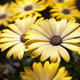Caitlyn  Grasso - African Daisies