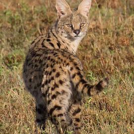 Chris Scroggins - African Serval Cat 1