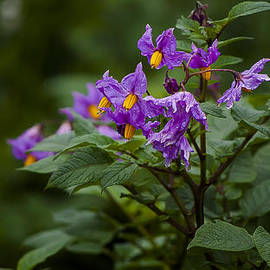 African Violets by Paul Weaver