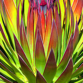 Agave Finale by Douglas Taylor