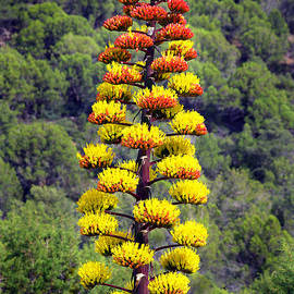 Agave Flowers by Douglas Taylor