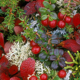 Arterra Picture Library - Alaskan berries 2