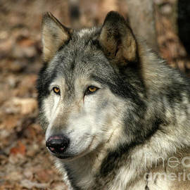 Deborah Smith - Alaskan Timber Wolf Portrait