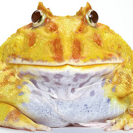 Albino Chacoan Horned Frog by Michel Gunther