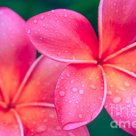 Aloha Hawaii Kalama O Nei Pink Tropical Plumeria by Sharon Mau