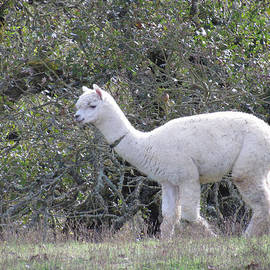 Bonnie Muir - Alpaca Stroll
