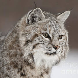 Wildlife Fine Art - Amazing Gaze