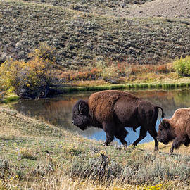 American Bison Couple at Home on the Range by Kathleen Bishop