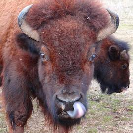 American Bison by Keith Stokes