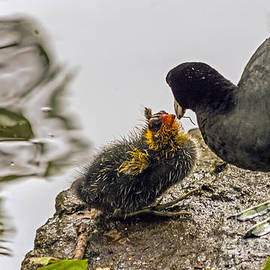 American Coot feeding chick by Kate Brown