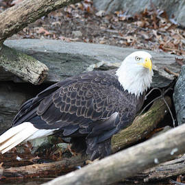 American Eagle by John Telfer