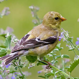 David Freuthal - American Goldfinch