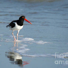 American Oystercatcher by Michelle Tinger