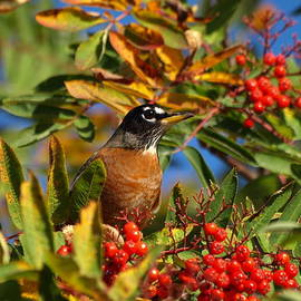 James Peterson - American Robin