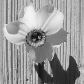 Barbara St Jean - Angel Eyes Narcissus