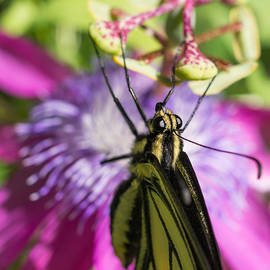 Anise Swallowtail Butterfly and Passionflower by Priya Ghose