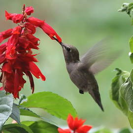 Angie Vogel - Anna Hummingbird in Salvia