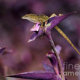 Sabrina L Ryan - Anole Lizard in a Purple Garden