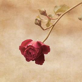 Antique Rose by Kim Hojnacki