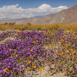 Anza-borrego Wildflowers 25 by Lee Kirchhevel
