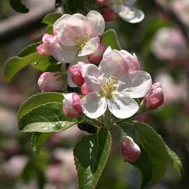 Henry Kowalski - Apple Blossoms in Spring