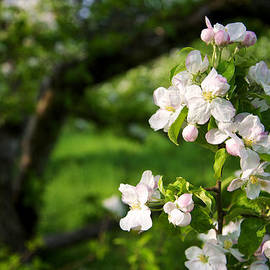 Apple Blossoms in the Orchard by Mary Lee Dereske
