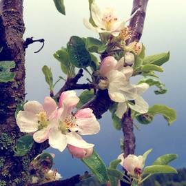 Apple Blossoms Right Outside My Studio