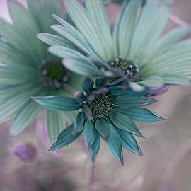 Aqua Gerberas by Bonnie Bruno