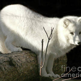 Deborah Smith - Arctic Fox