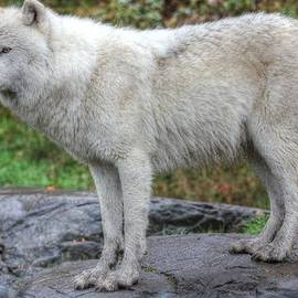 Vicki Spindler - Arctic Wolf HDR