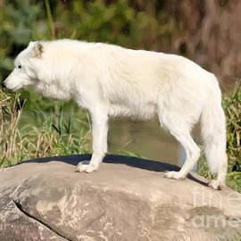 Les Palenik - Arctic wolf on a rock - Painterly