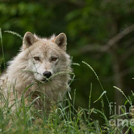 World Wildlife Photography - Arctic Wolf Pictures 1177