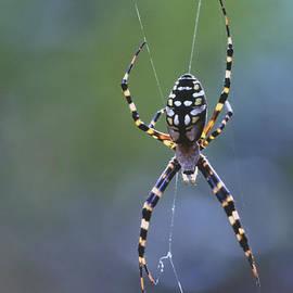 Argiope Spider On Web by Bradford Martin