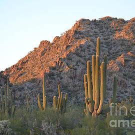 Arizona Saguaro Cactus  by Beverly Guilliams