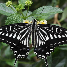 Asian Swallowtail Butterfly by Judy Whitton
