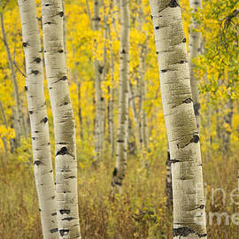 Idaho Scenic Images Linda Lantzy - Aspen Love