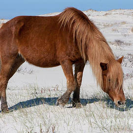 Assateague Pony by Chris Scroggins