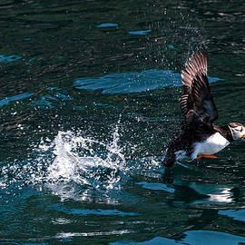 Atlantic Puffin Taking Off by Perla Copernik