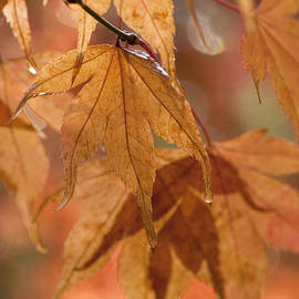 Anne Gilbert - Autumn Acer