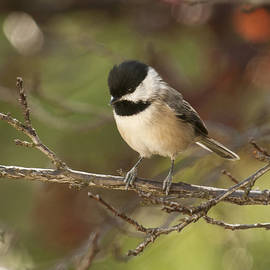 Lara Ellis - Autumn Colors Chickadee