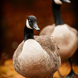 Autumn Geese by Karol Livote