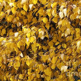 Bob Phillips - Autumn Gold