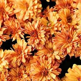 Autumn Mums by Dan Sproul